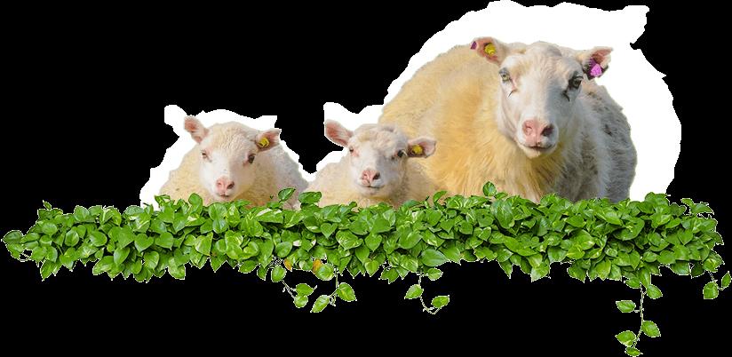 Vacunas para ganado ovino INTERCHEMBIO